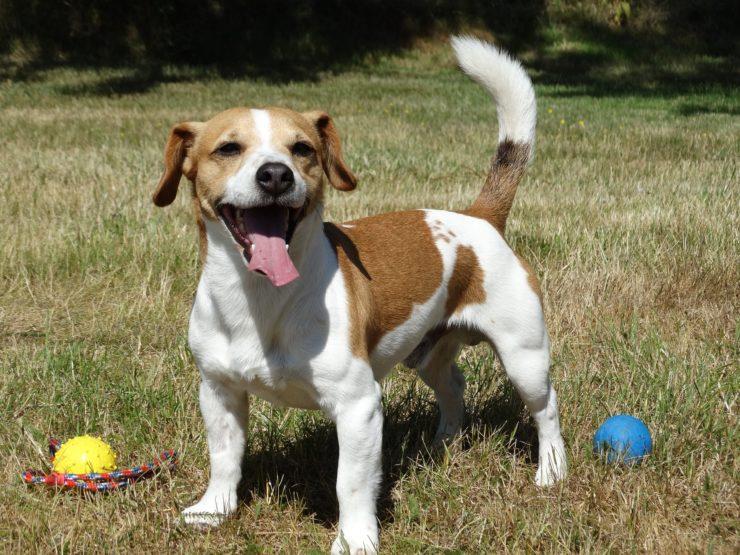 Opis psa rasy Jack Russell Terrier