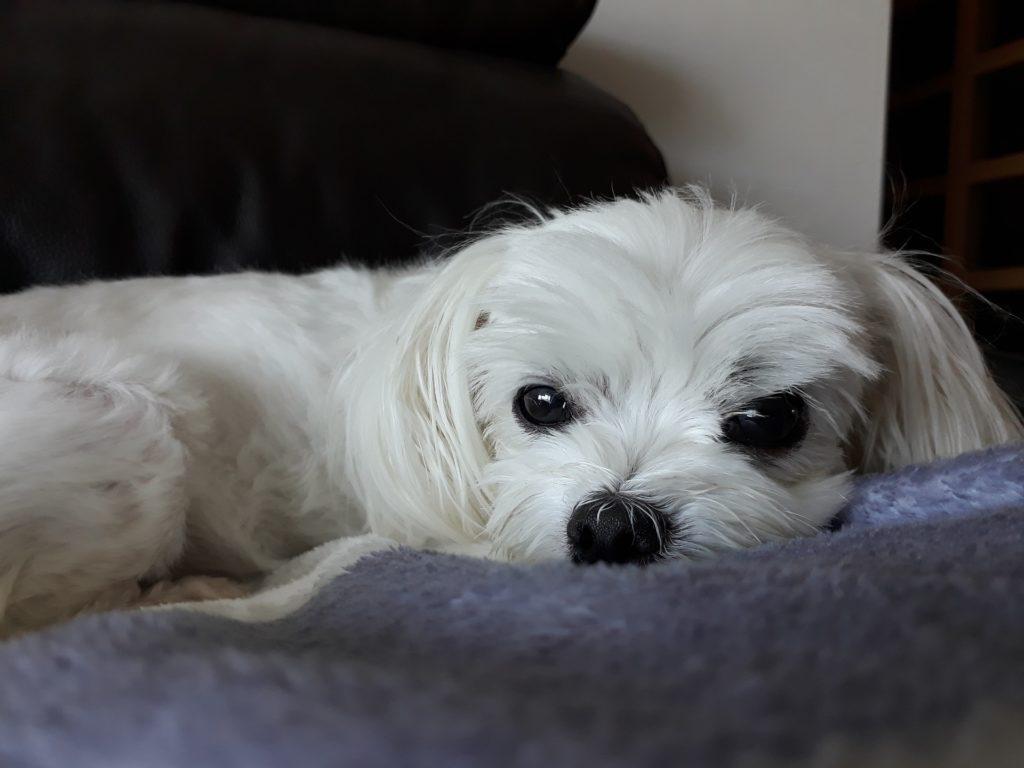Najpiekniejsze psy świata maltańczyk