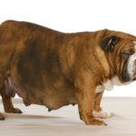 Ciążka u psa ile trwa?
