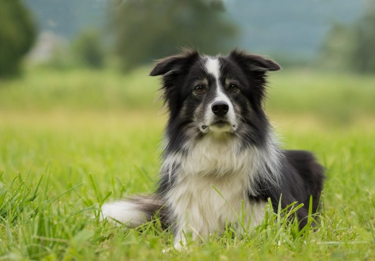 Border Collie opis rasy