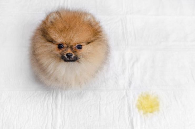 pies sika w domu