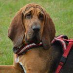 Bloodhound (Pies św. Huberta) - opis rasy
