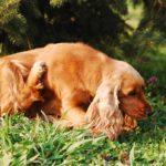 Leczenie pcheł u psa