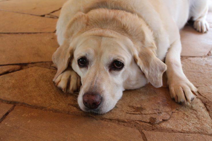 Odchudzanie psa poradnik