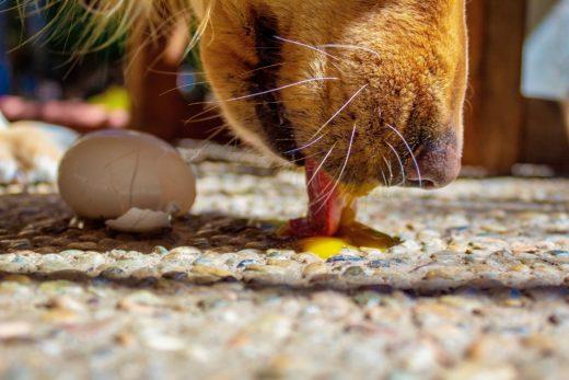 jajko dla psa?