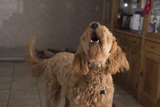 Jak nauczyć psa komendy daj głos?