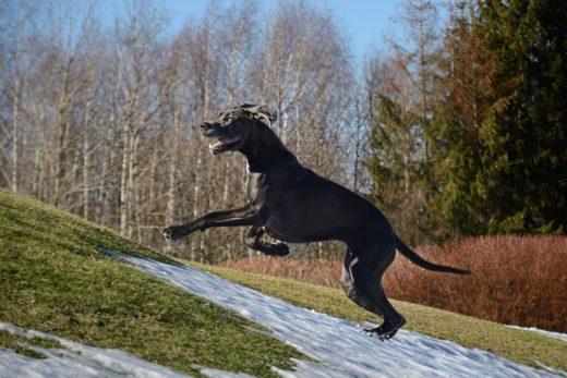 Pies rekord guinessa