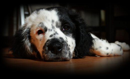 Objawy wstrząsu mózgu u psa