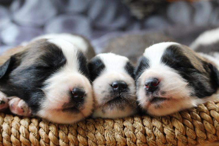 Ile snu potrzebuje szczeniak?