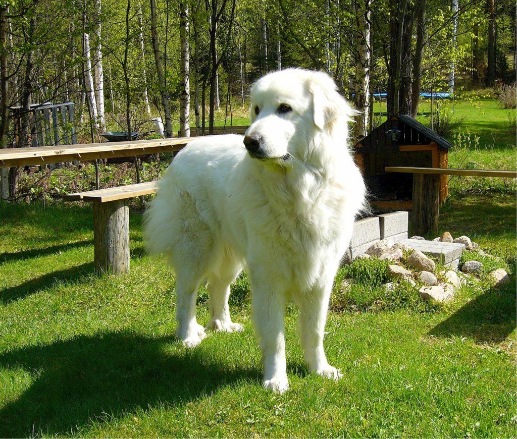 Najdrozszy Pies Swiata Sprawdz Ile Kosztuje Ceny Rasy Top 10 Petportal Pl