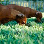 pies je trawe