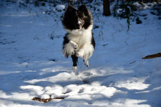 Pies skacze na ludzi