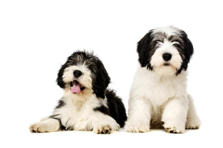 Polskie rasy psów - owczarek nizinny