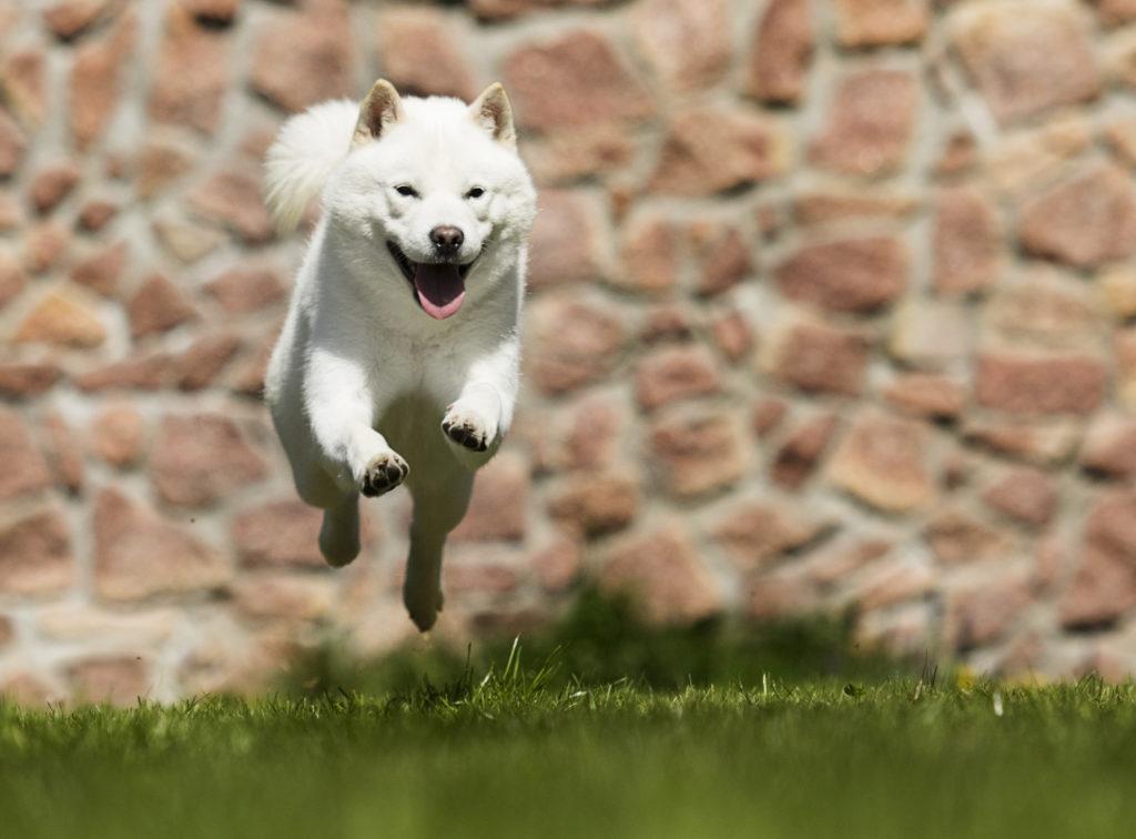 Japońskie rasy psów hokkaido
