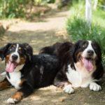 Berneński pies pasterski - charakter