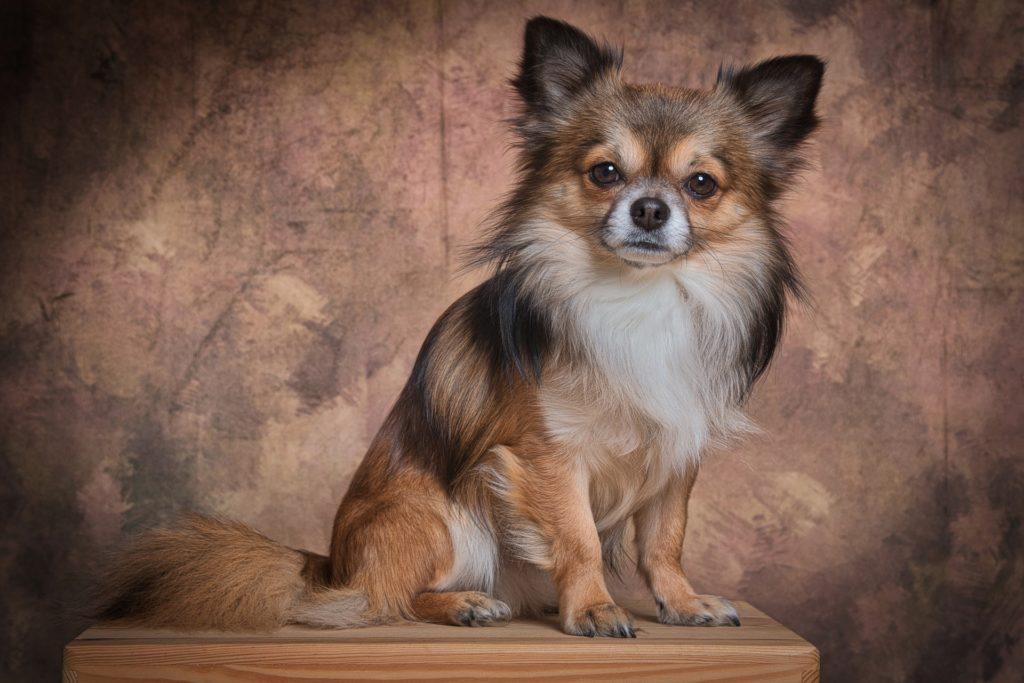 najsłodsze psiaki - Chihuahua