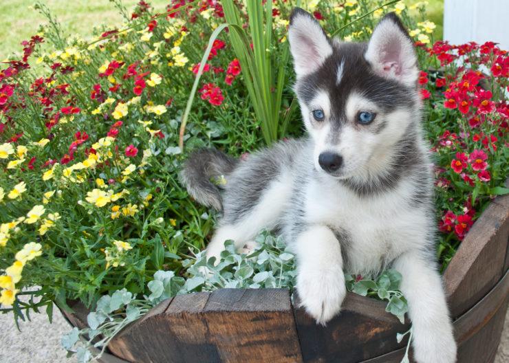 Najsłodsze psy - pomsky