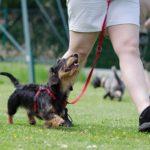 Jamnik pies z niemiec