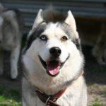 Najpiękniejsze psy świata - husky