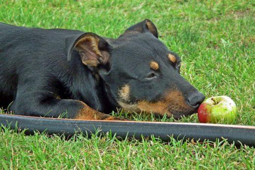 Czy pies może jeść jabłka?