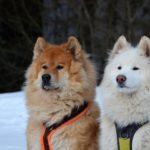 Najpiękniejsze psy świata - samojed