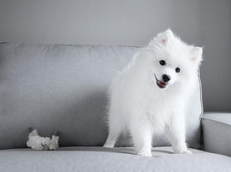 Japońskie rasy psów szpic japoński