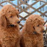 Rasy psów które nie gubią sierści