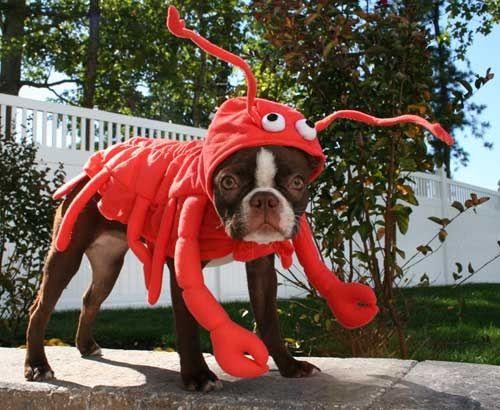 Pies w przebraniu kraba