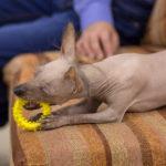 Psy bez sierści i włosów - nagi pies peruwiański