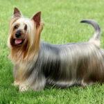 Rasa Australian silky terrier
