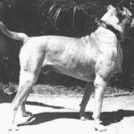 Pies z Kordoby