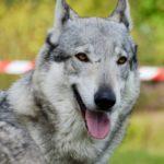 Wilczak Czechosłowacki - pies podobny do wilka
