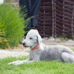 Bedlington terrier rasa, szczeniaki, charakter