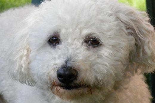 Bolończyk - opis rasy psa