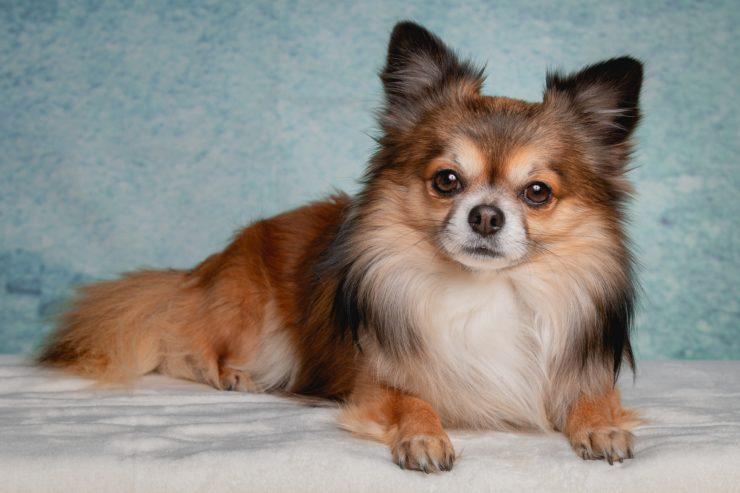 Pies Chihuahua