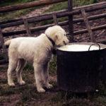 Czy dorosły pies może pić mleko krowie?
