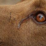 łzy u psa co oznaczają?