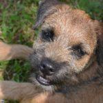 Border Terrier - szczeniaki, charakter