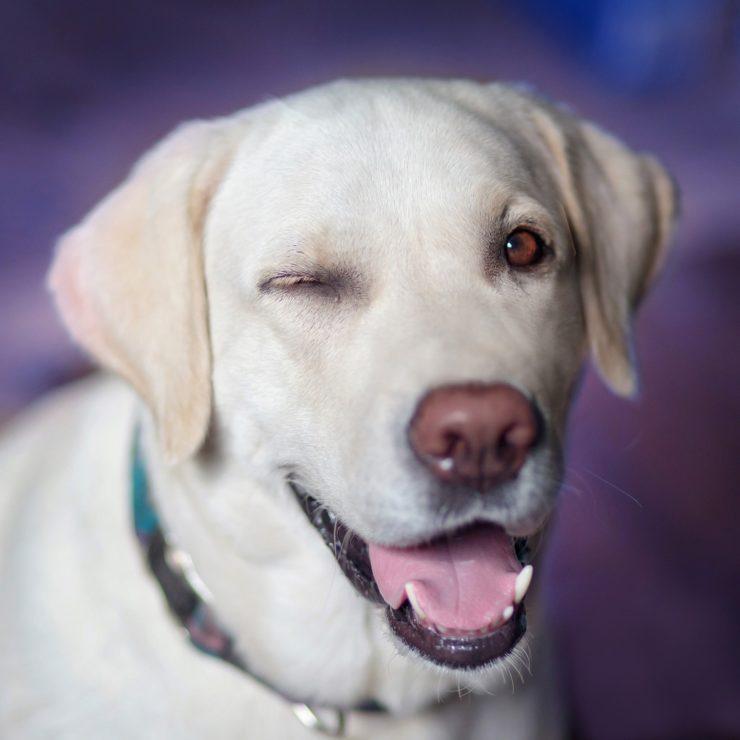 Labrador retriever rasa psa