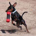 Ratlerek pies jak sarenka