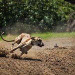 Jaka rasa psa jest najszybsza
