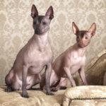 Psy bez sierści i włosów - nagi pies meksykański