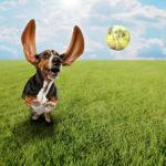 Dlaczego pies trzepie uszami?