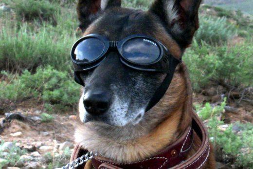 Pies w okularach