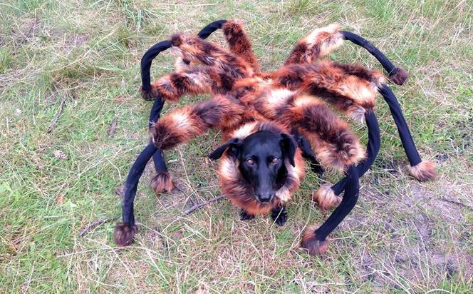 Pies w przebraniu pająka