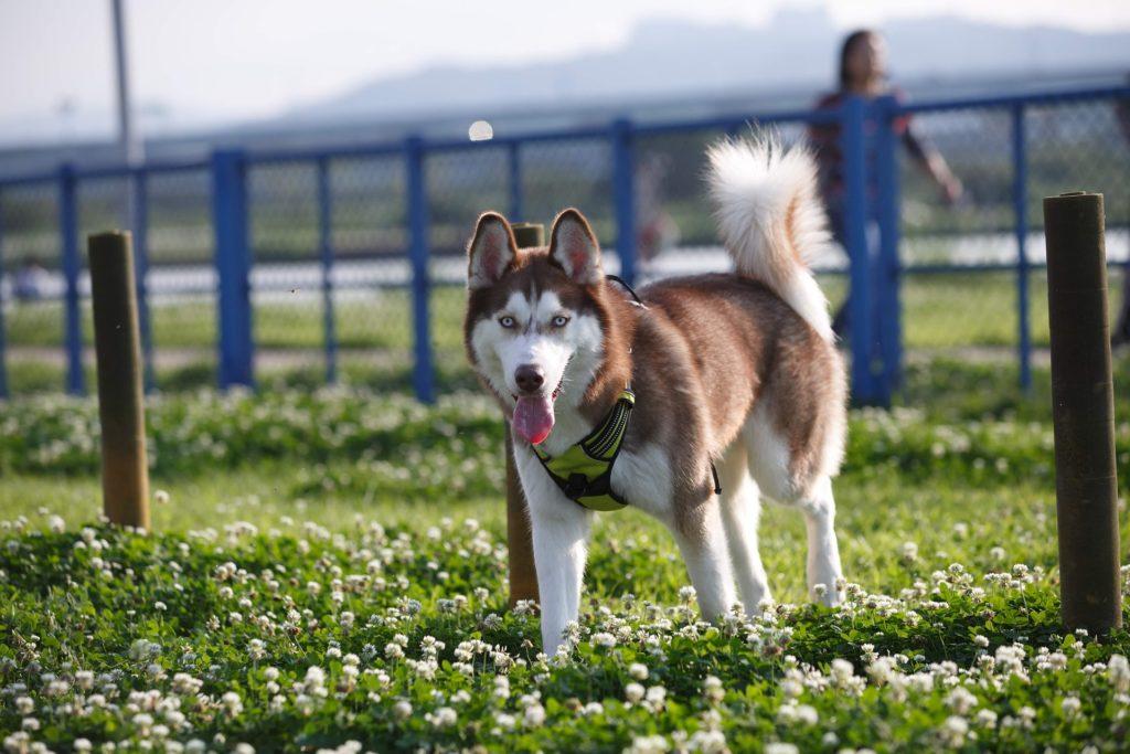 Siberian husky rasa psa