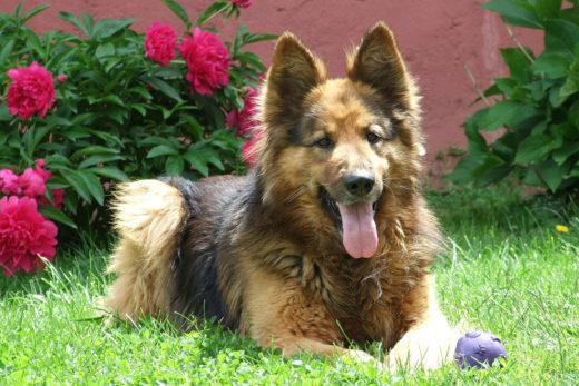 Pies do domu z ogrodem - wybieramy najlepszego