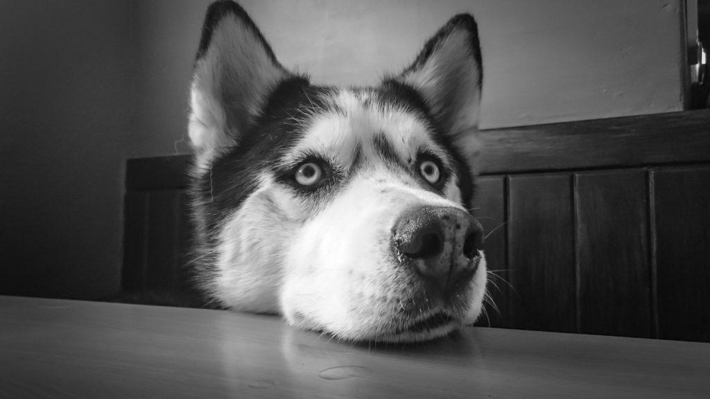 Siberian husky - pielęgnacja