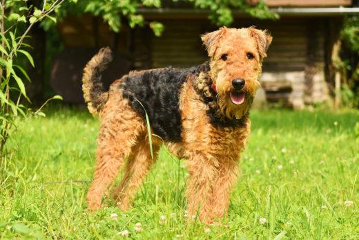 rasa psa Airedale Terrier