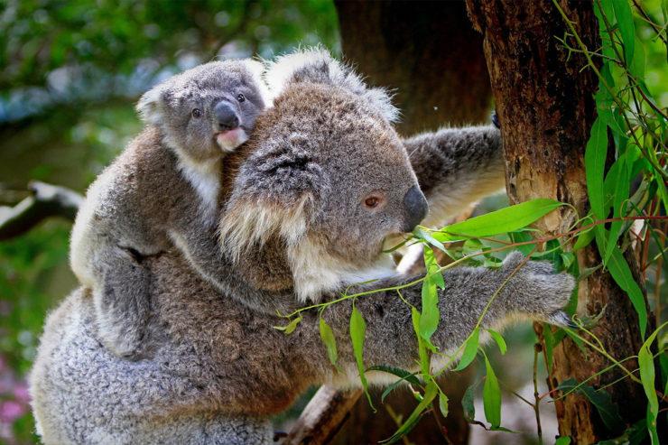 Koale uratowane z pożarów w australii